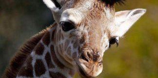 Knuthenborg Safaripark Gutschein 2 für 1 Coupon Ticket Rabatt