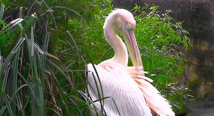Tierpark Hagenbeck Pelikan