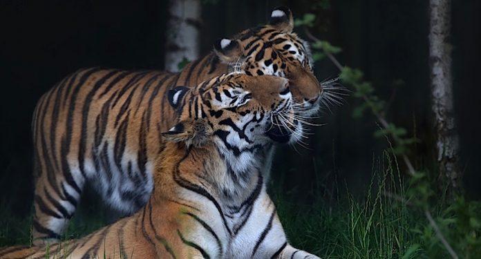 Walter Zoo Sibirische Tiger