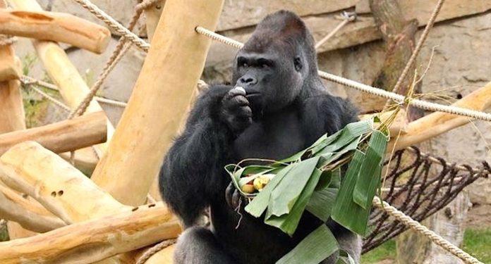 Zoo Berlin Gorilla Ivo