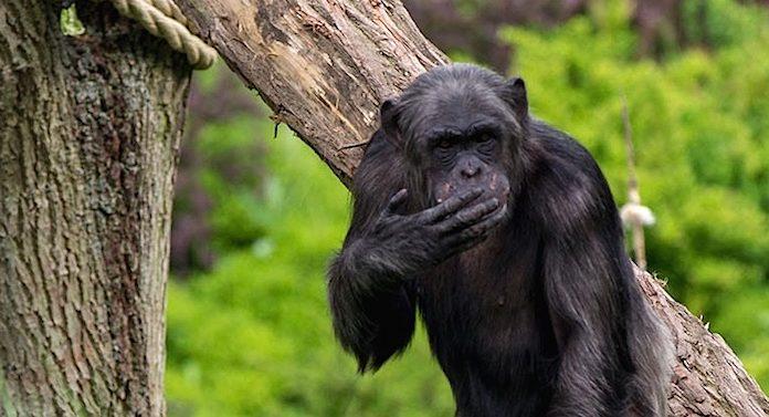 Zoo Magdeburg Schimpanse