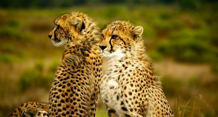 Zoo Safaripark Stukenbrock Geparden