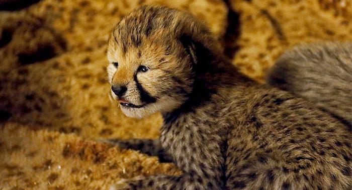 Zoo Safaripark Stukenbrock Gepard Baby