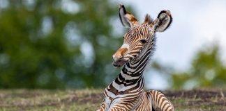 Zoo Dresden Zebra