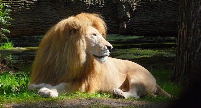 Serengeti-Park Löwe