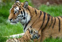 Erlebnis Zoo Hannover Tiger