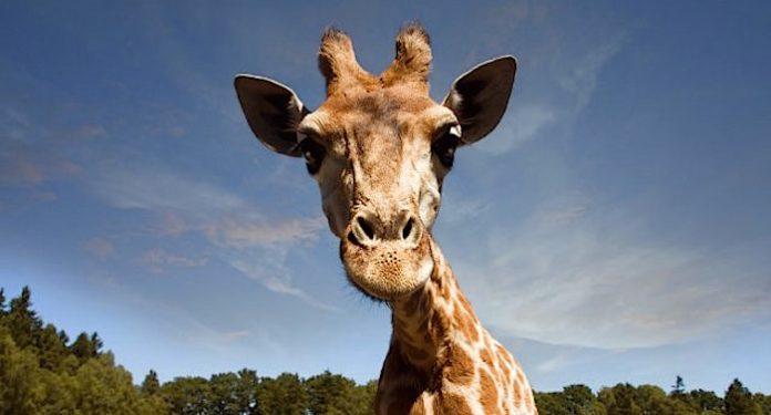 Serengeti-Park Giraffe