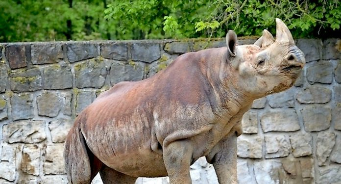 Zoo Zürich Nashorn