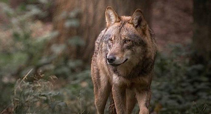 Geschenk für Kinder Buch Wölfe