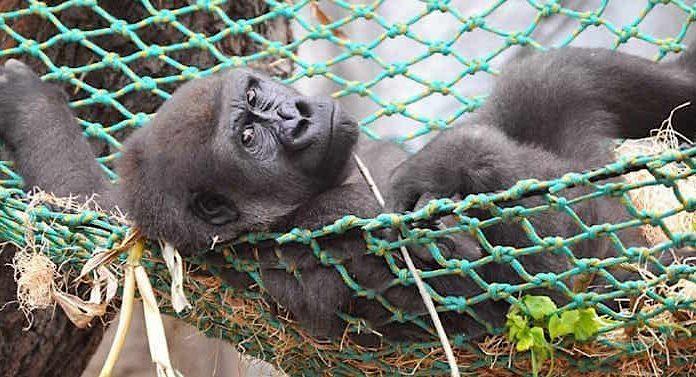 Zoo Rostock Gorilla