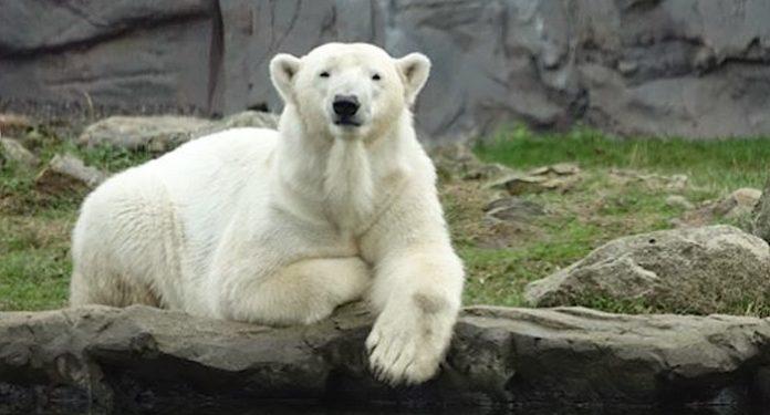 Tierpark Hellabrunn Eisbärin Nanook