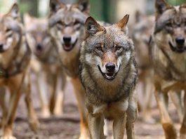 Wolfscenter Dörverden Gutschein Mopo