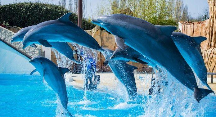 Frankreich: Verbot neuer Delfin- und Killerwal-Shows angekündigt