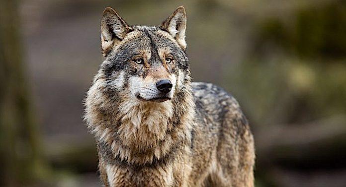 Zoo Kopenhagen: Gesunde Bären und Wölfe werden getötet