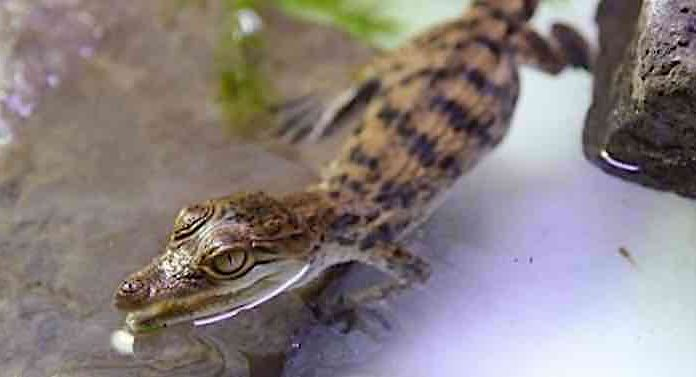 Kölner Zoo: Zwei Krokodile sollen Art vom Aussterben retten