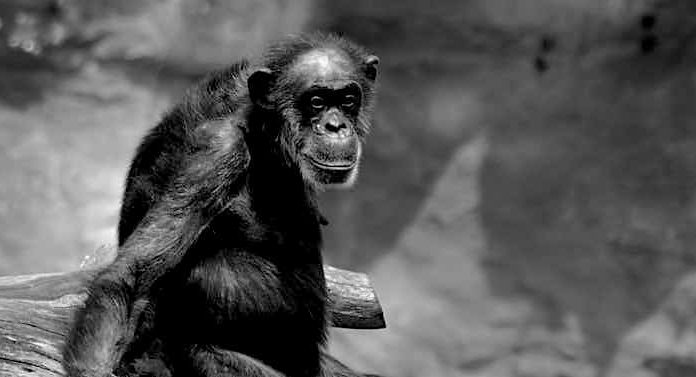 """ZOOM Erlebniswelt: Schimpansen-Oma """"Sita"""" verstorben"""