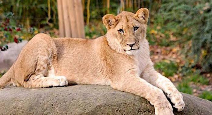 Zoo Berlin: Afrikanische Löwen fühlen sich rundum wohl