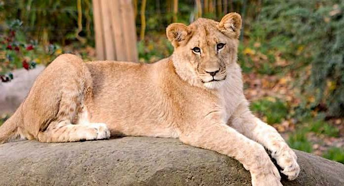 Zoo Berlin: Drei flauschige Könige im Raubtierhaus