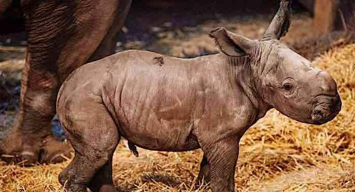 Zoo Erfurt: Kleines Nashorn sucht großen Namen
