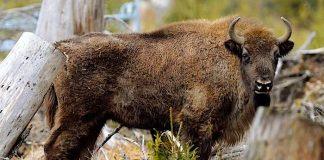 Tierpark Berlin: Kleiner Wisentbulle mit großartigen Perspektiven