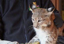 Wildpark Schwarze Berge: Rocky, Romy und Ruby gehen auf Reise