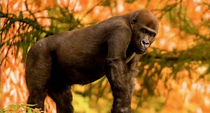 Affenpark Apenheul: 50. Gorilla pünktlich zum 50. Jubiläum geboren
