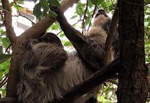 Tierpark Hellabrunn: Faultiere haben erstmals seit drei Jahren Nachwuchs