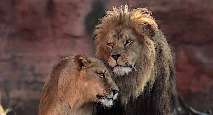 Erlebnis Zoo Hannover: Trauer um Berberlöwin Naima