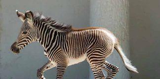 Zoo Berlin: Nashorn-Pagode wird weiter aufgehübscht