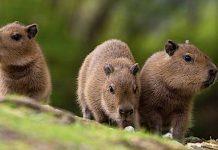 Zoo Berlin: Capybara-Babys im Zoo der Hauptstadt geboren
