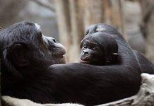Zoo Leipzig: Bonobo-Baby sorgt für strahlende Augen