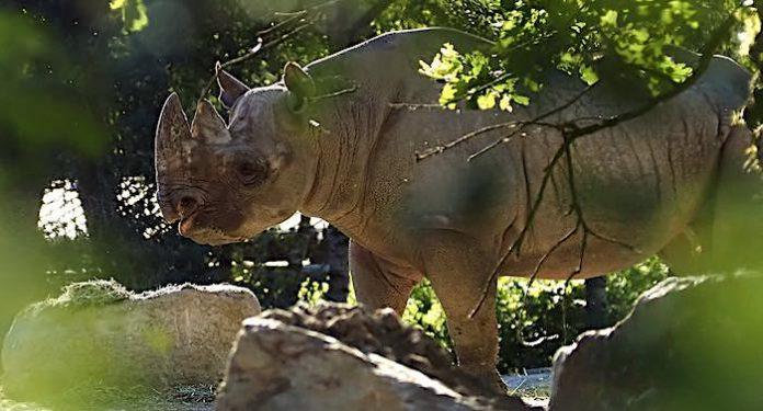 Safari Park Beekse Bergen beheimatet zwei seltene Spitzmaulnashörner